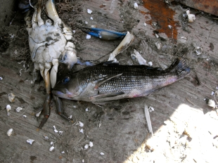 Blue crabs and black sea bass are commonly found in the ghost traps.